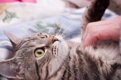 Scottish-straight gray beautiful cat Royalty Free Stock Images