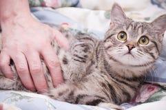 Scottish-straight gray beautiful cat Royalty Free Stock Photos