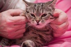 Scottish-straight gray beautiful cat Royalty Free Stock Photography
