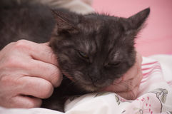 Scottish-straight gray beautiful cat Royalty Free Stock Photo