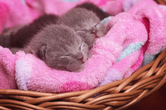 Scottish-straight gray beautiful cats Stock Photo