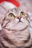 Scottish-straight gray  cat Royalty Free Stock Photography