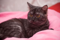 Scottish-straight gray cat Royalty Free Stock Image