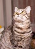 Scottish-straight gray cat Stock Image