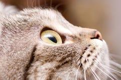 Scottish-straight gray cat Royalty Free Stock Photo