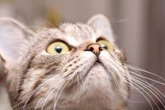 Scottish-straight gray cat Stock Photo