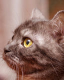 Scottish-straight gray cat Stock Photos