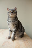 Scottish straight gray cat looking up Stock Images