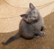 Scottish Straight gray kitten with yellow eyes Stock Image