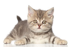 Scottish straight kitten. On a white background with reflection Royalty Free Stock Images