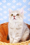 Scottish Straight kitten Stock Images