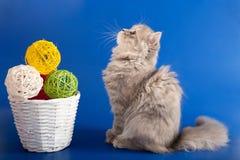Scottish Straight kitten Stock Image