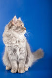Scottish Straight kitten Royalty Free Stock Photography