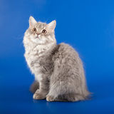 Scottish Straight kitten Stock Photo