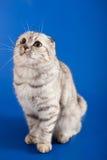 Scottish Straight kitten Royalty Free Stock Photography