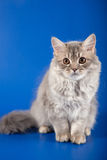 Scottish Straight kitten Stock Photos