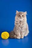 Scottish Straight kitten Royalty Free Stock Photos