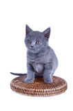 Scottish straight kitten isolated on white Royalty Free Stock Image