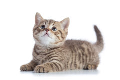 Scottish Straight kitten looking up isolated on white background Royalty Free Stock Photo