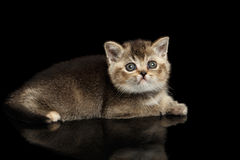 Scottish Straight Kitten Lying and Curious Looking up Isolated Black Royalty Free Stock Image