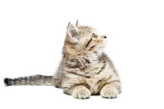 Scottish Straight  kitten Royalty Free Stock Photos