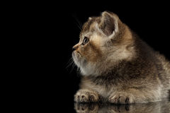 Scottish Straight Kitten Lying, Snout in Profile Isolated on Black Stock Images
