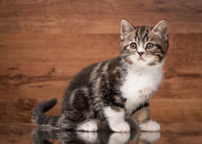 Scottish straight kitten on mirror and wooden texture Stock Photography