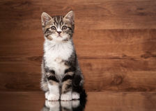 Scottish straight kitten on mirror and wooden texture Stock Photos