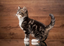 Scottish straight kitten on mirror and wooden texture Royalty Free Stock Photo