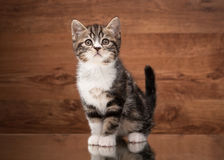 Scottish straight kitten on mirror and wooden texture Royalty Free Stock Images