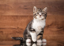 Scottish straight kitten on mirror and wooden texture Stock Image