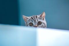 Scottish straight kitten . Stock Photography