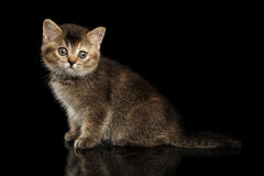 Scottish Straight Kitten Sitting, Curious Looking in Camera Isolated Black Royalty Free Stock Photography