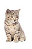 Scottish Straight kitten Royalty Free Stock Photo