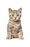 Scottish Straight  kitten sitting looking at camera Stock Photos