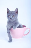 Scottish straight kitten sitting in pink cup Stock Photos