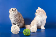 Scottish Straight kittens Stock Photo
