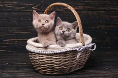 Scottish straight kittens. Funky kittens explore new territories royalty free stock photography