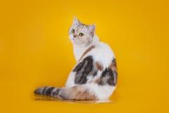 Scottish Straight tortoiseshell cat Royalty Free Stock Photo
