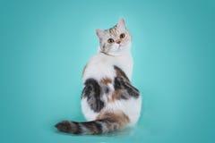 Scottish Straight tortoiseshell cat. On a colored background isolated stock photos