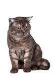 Scottish straight on white background. A portrait of a beautiful cat on white background Royalty Free Stock Photos