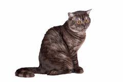 Scottish straight on white background. A portrait of a beautiful cat on white background Stock Photo
