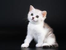 Scottish stright breed pussycat Stock Photos
