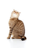 Scottish tabby cat looking up on white Stock Photography