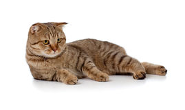 Scottish tabby-cat is lying. On floor Royalty Free Stock Photos