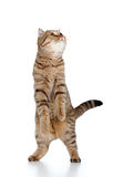 Scottish tabby-cat stands while playing Royalty Free Stock Photos