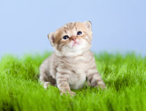 Scottish tabby kitten looking upward on grass Stock Photo