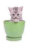 Scottish tabby kitten Royalty Free Stock Photo