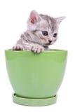 Scottish tabby kitten Stock Photo