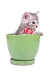 Scottish tabby kitten Stock Images